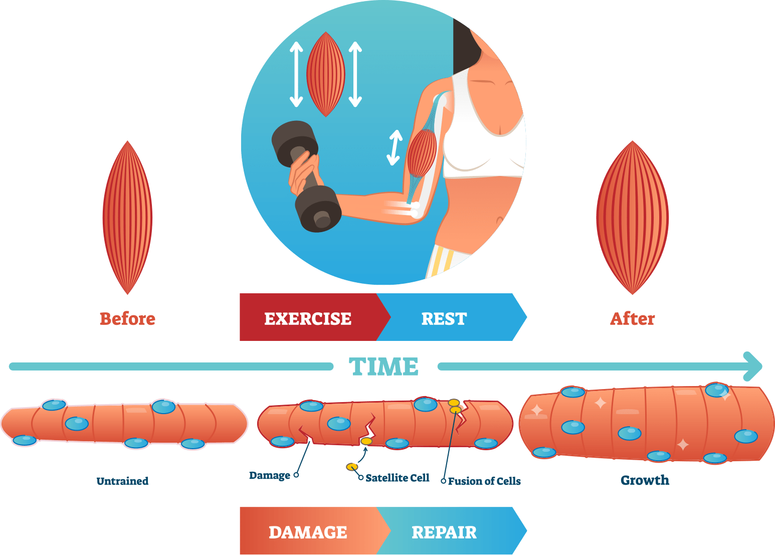 muscle growth explained